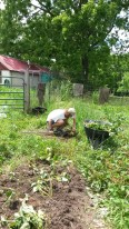 Strawberry meditation: Conor planting